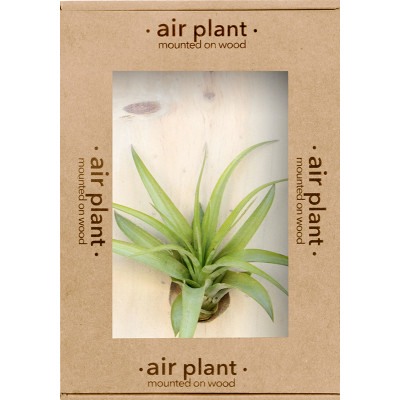 Microgarden Air Plant Tillandsia Multiflora