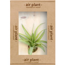 Microgarden Air Plant Tillandsia Multiflora
